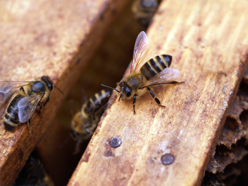 bee in wooden hive