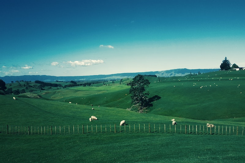 view of sheep in green fields